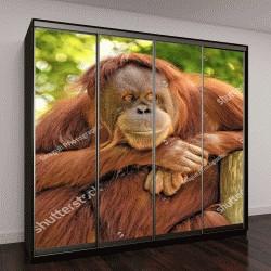 """Шкаф купе с фотопечатью """"Наблюдательная горилла """""""