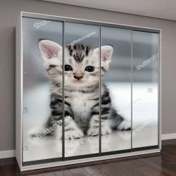 """Шкаф купе с фотопечатью """"Симпатичная американская короткошерстная кошка """""""