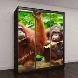 """Шкаф купе с фотопечатью """"орангутанги, выборочный фокус"""""""